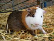 guinea-pig-picture