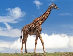 How To Draw Giraffe Hellokids Com