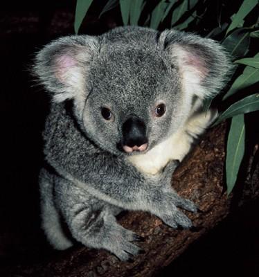 Animals of the World: The Koala.