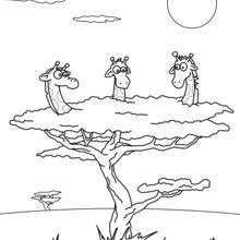 Giraffes in a Tree